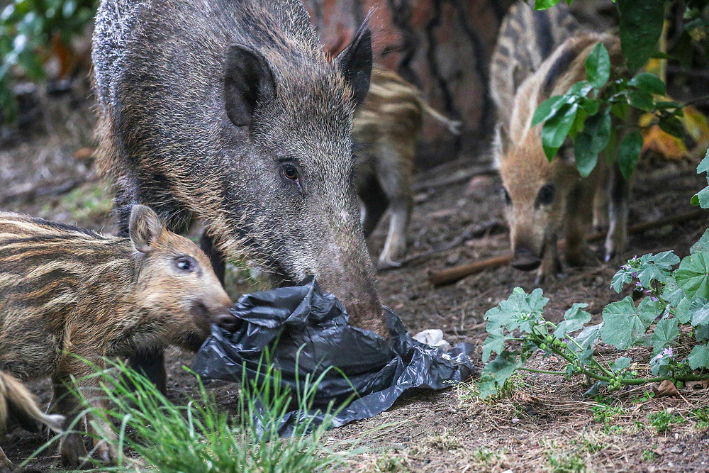 A wild boar sow and her piglets tear a trash bag in Haifa, Israel, April 09, 2021. Several neighborhoods in the northern Israeli city are being visited by families of wild boars. Many of the animals felt safer to come out of the Carmel woods surrounding the city in search for food, as most people were confined to their homes due to covid-19 lockdowns. As Israel slowly returned to normal life, following a large scale vaccination operation, human and animal encounters became more and more common.