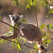 Ring-tailed lemur foraging in a bush. Berenty Reserve, Madagascar
