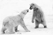 Schweden, SWE, Kolmarden, 2000: Zwei Eisbaeren (Ursus maritimus) Nase an Nase beim spielerischen Kaempfen, einer von ihnen steht aufrecht auf seinen Hinterbeinen, Kolmardens Djurpark. | Sweden, SWE, Kolmarden, 2000: Polar bear, Ursus maritimus, social play of two polar bears, nose-to-nose, one is standing upright on it's hind legs, Kolmardens Djurpark. |