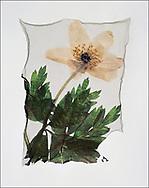 FLOWERPRESS - Wood Anenome - polaroid lift photo art print by Paul Williams. These rare and striking polaroid lift was taken iby Paul Williams in 1992 and was awarded a Polaroid European Final Art Award.