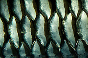 A macro abstract pattern and texture of the scales of a cigar barb fish at the Sea Life Centre Hunstanton Norfolk