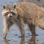 Adult raccoon (Procyon lotor) walks through mud at Merritt Island NWR on Florida's Atlantic coast..