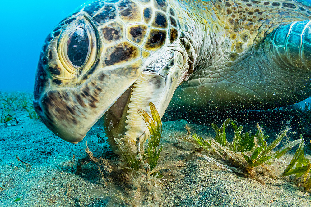 Green sea turtles (Chelonia mydas), like this one photographed in the Egyptian Red Sea, feed almost exclusively on seagrass.