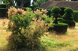 Cotinus coggygria in full smoke amongst the long meadow grass in the Topiary garden