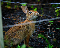 Bunny Rabbit Behind the Electric Fence. Image taken with a Fuji X-T2 camera and 100-400 mm OIS lens