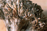 Close up selective focus photo of Hen of the Woods mushrooms