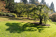 A venerable tree casts its shadow onto bright green grass by a park bench. Admire diverse plants and trees throughout the year in Washington Park Arboretum, Seattle, Washington, USA. Washington Park Arboretum is a joint project of the University of Washington, the Seattle Department of Parks and Recreation, and the nonprofit Arboretum Foundation.