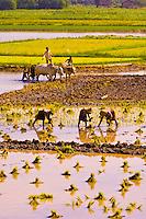 Working in the rice paddies in the countryside between Amarapura and Inwa, Myanmar (Burma)