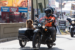 Riding Golden Retriever during Laconia Motorcycle Week. Laconia, NH, USA. June 14, 2015.  Photography ©2015 Michael Lichter.