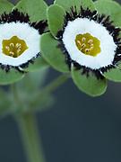 Primula auricula 'Freya' - grey edged show auricula