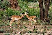 side view of a male and a female impalas (Aepyceros melampus). Photographed at Lake Manyara National Park, Tanzania,