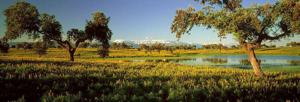 SPAIN, EXTREMADURA wildflowers and cork trees with the Sierra de Gredos beyond, near Navalmoral de la Mata, southwest of Madrid
