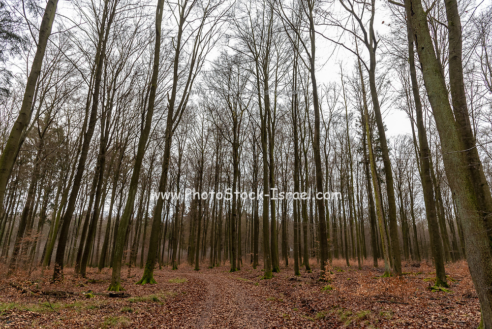 Winter forest. Photographed in Germany in January