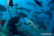 Manasa, a divemaster at Beqa Adventure Divers, <br /> feeds a silvertip shark, Carcharhinus albimarginatus, <br /> at Shark Reef Marine Reserve, Beqa Passage, Viti Levu, Fiji<br /> ( South Pacific Ocean ) (do) MR 327