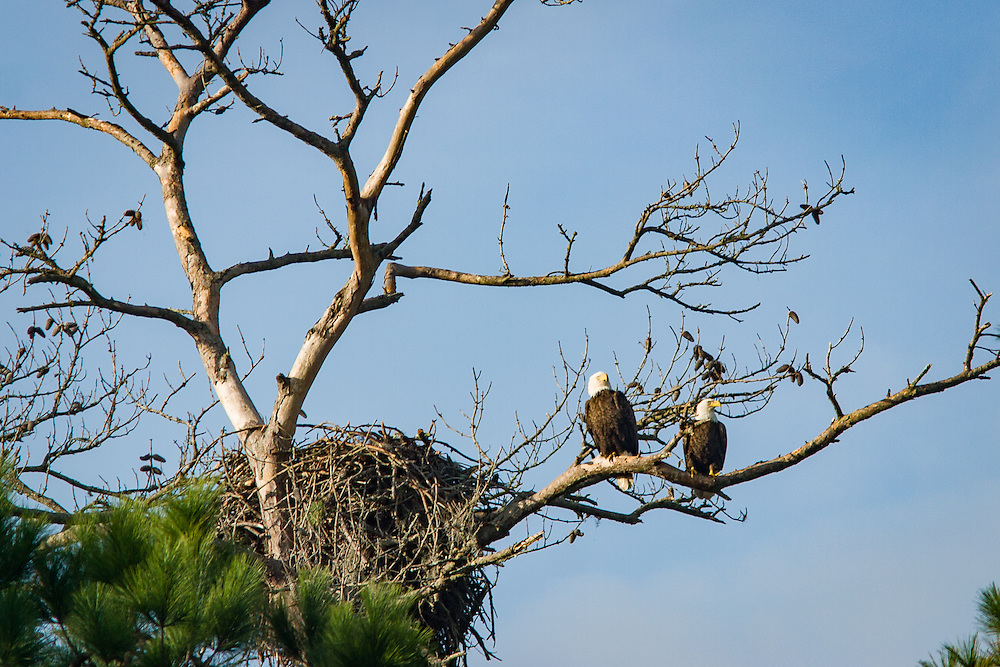 A pair of bald eagles perch beside each other after mating on their nest in a pine tree along the May River.