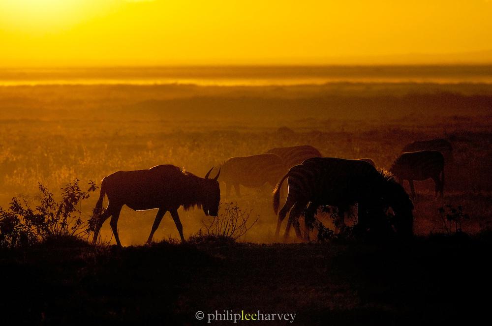 Zebra and Wildebeest grazing at sunrise in Amboseli National Park, Kenya
