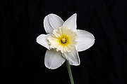 Daffodil flower as seen in white light. The specimen was illuminated with white light to compare it with the shortwave ultraviolet light (UV) image in this series. This image is part of a series