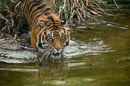 A Sumatran Tiger enters water