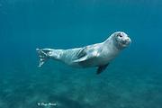 Mediterranean monk seal, Monachus monachus, Critically Endangered Species, mature male, Deserta Grande, Ilhas Desertas, Parque Natural da Madeira, Portugal ( Atlantic Ocean )