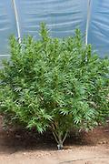 Medicinal marijuana plant growing in Oregon.