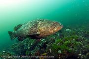 A Goliath Grouper, Epinephelus itajara, swims over a coral reef offshore Juno Beach, Florida, United States.