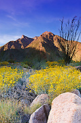 Morning light on brittlebush and ocotillo under San Ysidro Mountain, Anza-Borrego Desert State Park, California USA