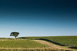 Alone fig tree in vineyards / Figueira isolada e vinhedos da Valduga. Ano/Year 2010.