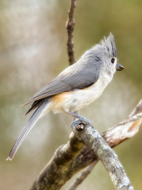 A Tufted Titmouse In A Tree With A Seed