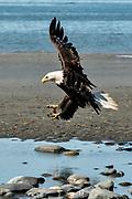 An adult bald eagle lands along the beach at Anchor Point, Alaska.