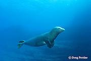 Hawaiian monk seal, Monachus schauinslandi, Critically Endangered endemic species, mature male with massive scar, probably from a tiger shark bite, Lehua Rock, off Niihau, Hawaii ( Central Pacific Ocean )