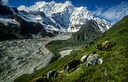 Yaks grazing on low scrub, Kangshung glacir valley, Chomolonzo above, east of Everest, Tibet