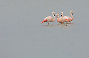 Salinas - Monday, Jan 14 2008: Four Chilean Flamingoes (Phoenicopterus chilensis) stand in a salt lake just outside Salinas, Ecuador. (Photo by Peter Horrell / http://www.peterhorrell.com)