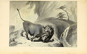 Lion And Buffaloe From the book ' The Oriental annual, or, Scenes in India ' by the Rev. Hobart Caunter Published by Edward Bull, London 1836 engravings from drawings by William Daniell