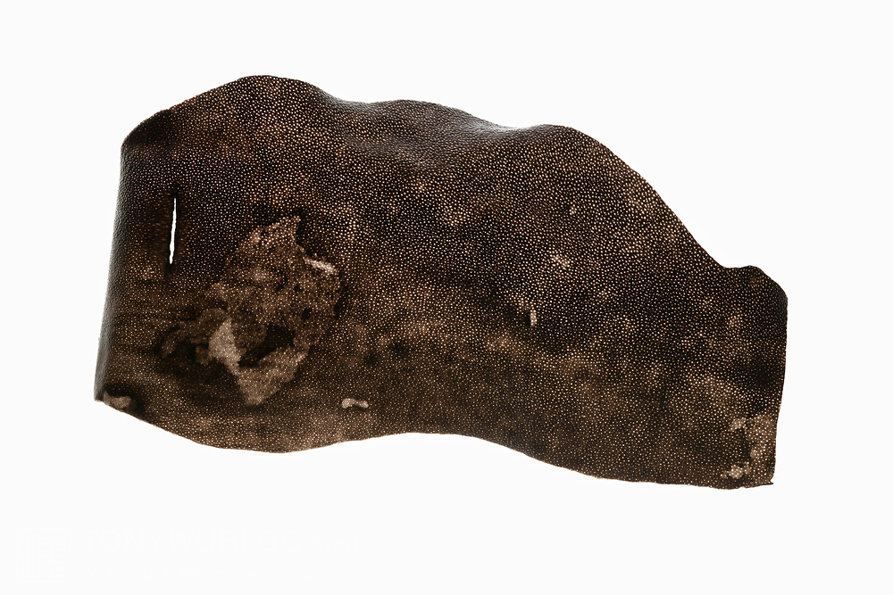 This is a piece of skin that was shed from the dorsal surface of the fluke of a female humpback whale. The whale repeatedly held her fluke above the surface of the ocean while resting in a head-down position, such that her body was oriented vertically in the water. There was significant peeling or shedding of skin from the fluke's dorsal surface, most likely due to normal sloughing off of skin. I speculate that another possibility could be that the whale may have had sunburn as a consequence of her resting behaviour. Note the pattern of the skin. Date of encounter was 18 August 2017. See separate photos of fluke above water.