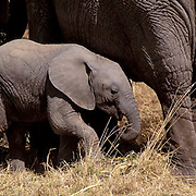 African Elephant, (Loxodonta africana)  Baby with mother. Serengeti Plains. Masai Mara Game Reserve. Kenya. Africa.