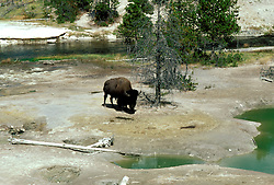 WY: Wyoming; Yellowstone National Park, Buffalo      .Photo Copyright Lee Foster, lee@fostertravel.com, www.fostertravel.com, (510) 549-2202.Image: wyyell205