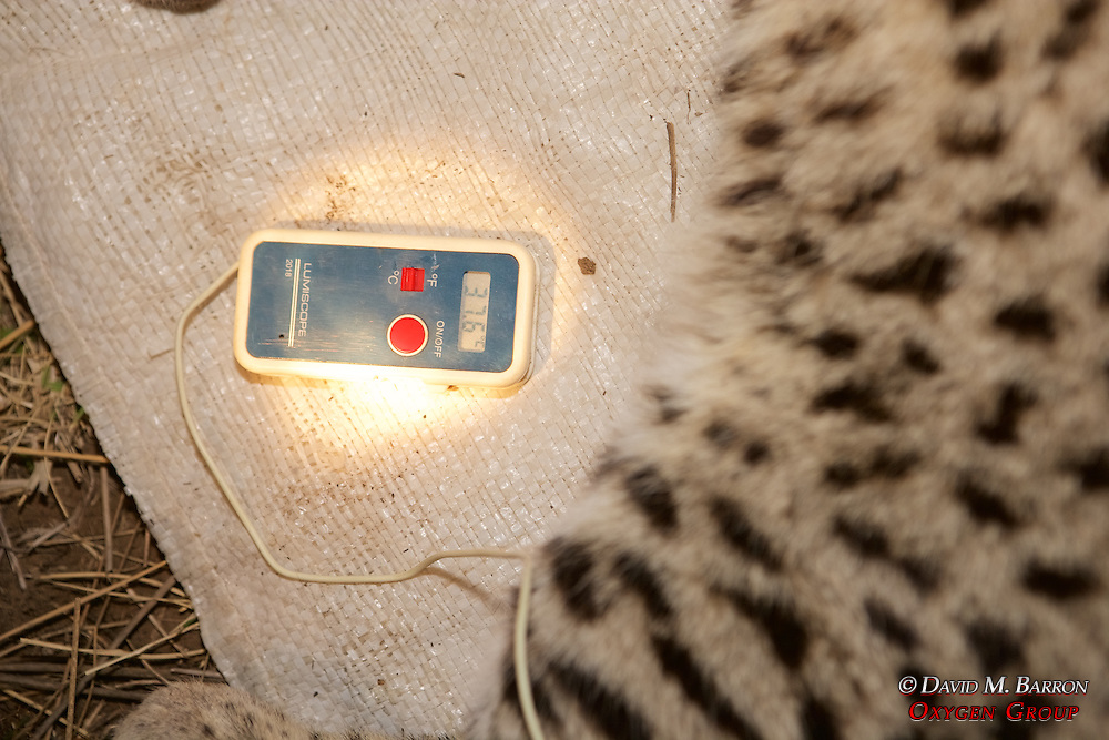 Monitoring Temperature Of Geoffroy's Cat