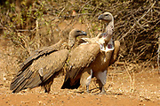 Cape vulture, Gyps coprotheres, Limpopo, South Africa