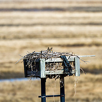 A Great Horned Owl (Bubo virginianus) sits on a osprey nesting box at Cheesequake State Park in Matawan NJ