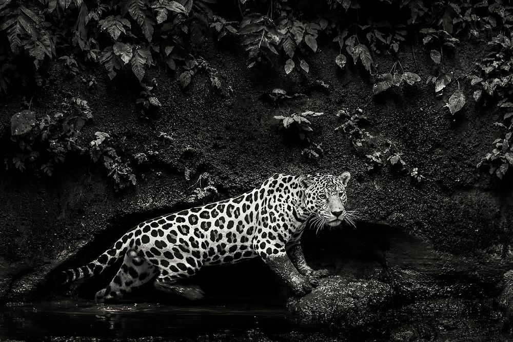 A jaguar poses in a clay lick in Yasuni National Park, Ecuador.