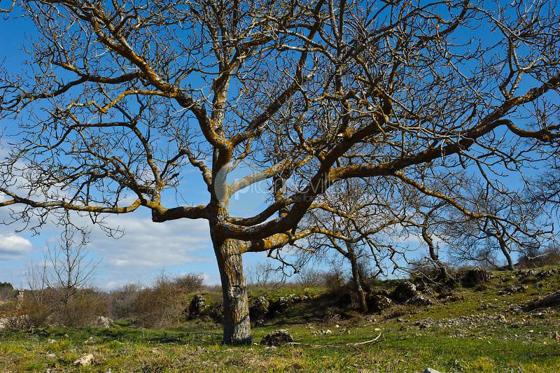 Nogal sin hojas (Juglans regia). El Olivar. La Alcarria. Guadalajara. ©Antonio Real Hurtado / PILAR REVILLA