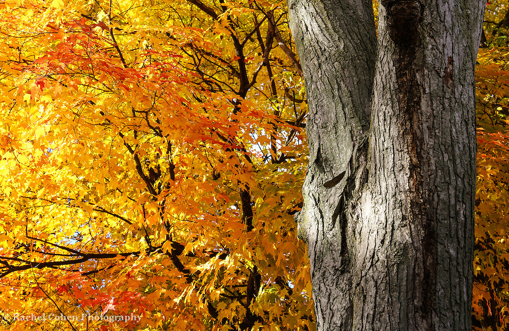 """""""Under the Old maple Tree"""" <br /> <br /> Oh those gorgeous old trees! What beauty! Enjoy the colorful autumn maple leaves at full peak, and lovely textured tree bark!"""