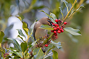 A cedar waxwing (Bombycilla cedrorum) picks a berry from a Chinese holly (Ilex cornuta) shrub in Everett, Washington. Cedar waxwings eat berries year-round, though they supplement their diet with insects during breading season.