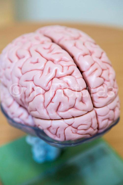 A plastic model of a human brain used to teach students at the Royal Neurological Hospital, London, United Kingdom.