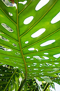 Monstera or Swiss Cheese plant