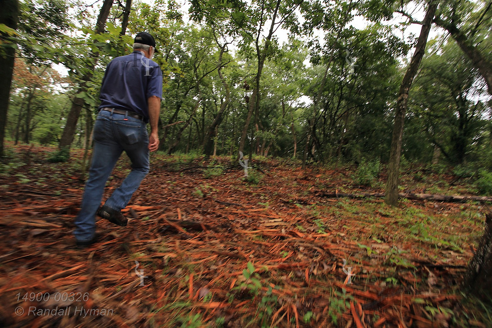 Forester Mike Sieger walks through recently mulched forest, dyed orange by triclopyr herbicide to prevent return of invasive buckthorn and honeysuckle that chokes understory in Kettle Moraine State Forest; Eagle, Wisconsin.