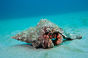 Giant Red Hermit Crab, Petrochirus diogenes, photographed offshore Palm Beach, Florida, United States.