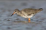 Redshank - Tringa totanus - winter adult