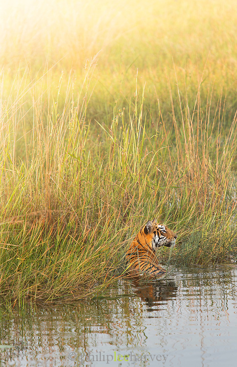 Tigeress in river in Tadoba Andhari Tiger Reserve in India