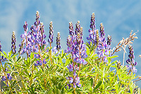 One of the most beautiful wildflowers of the Pacific coastal subalpine ranges, the arctic lupine can grow in the cold summer mountains in such profusion that whole meadows will turn a bluish-purple color. These were photographed near the top of Hurricane Ridge in in the northern part of the Olympic Mountains in Washington.